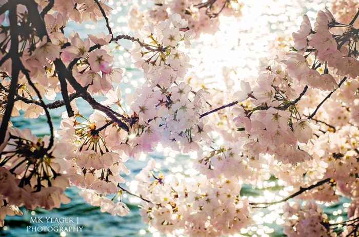 Cherry Blossoms, Washington DC National Cherry Blossom Festival 2015 Photograph by MK Yeager Photography, Rochester NY